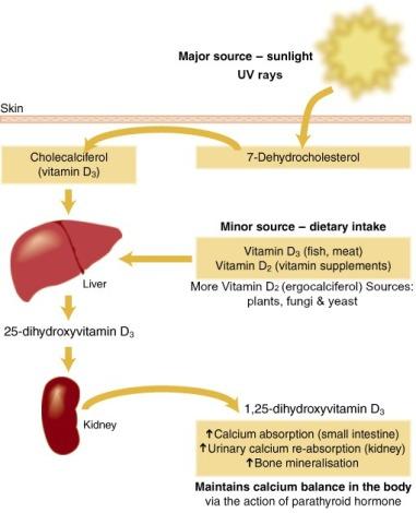 hydroxylation of vitamin D - diagram